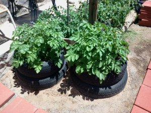 we have been adding a tire to the potatoe bush every month, filling it with dirt and watering well.